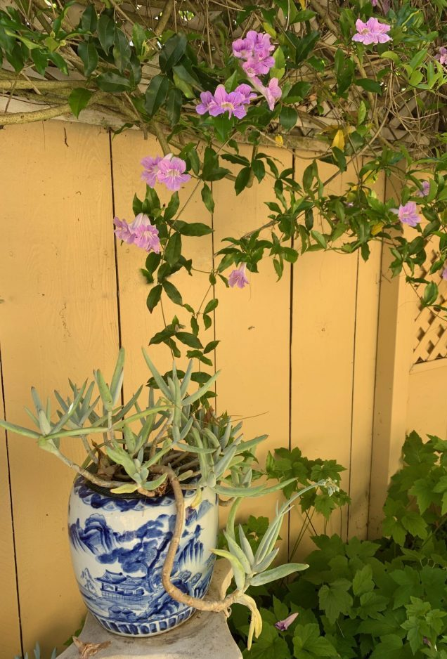 Adaptive Gardening Expert and Advocate for Senior Gardeners, Toni Gattone, captures her Clytostoma Violet Trumpet Vine meandering and trellising up the golden walls in her home garden.